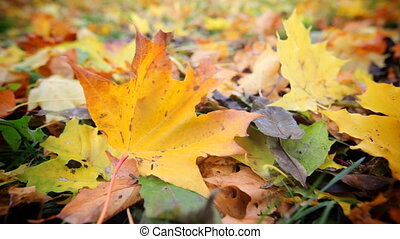 Autumn Leaves, close up