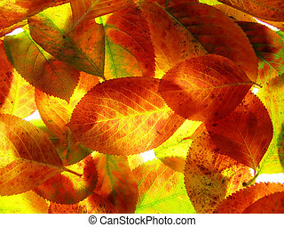 Autumn leaves - Close-up of yellow and orange transparent ...