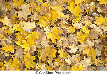 Autumn leaves - close up shot