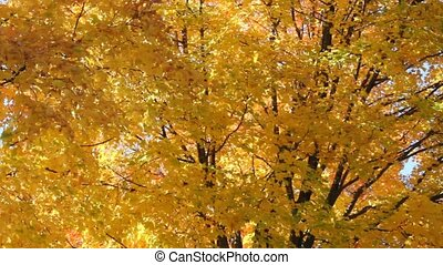 Autumn leaves - Colorful yellow leaves falling from a large...
