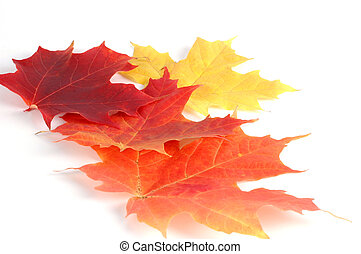 Autumn Leaves - Colourful array of utumn maple leaves.