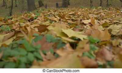 Autumn Leaves Cover - Rack focus along a colorful multitude...