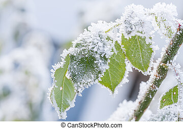 Autumn leaves covered with frost