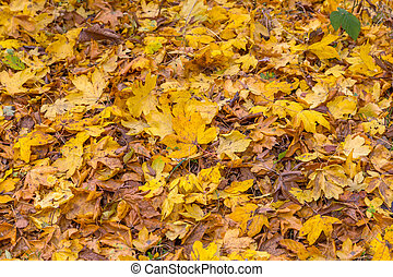 Autumn leaves fallen on the ground in the forest.