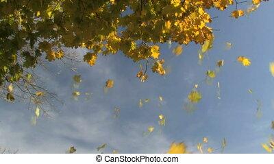 Autumn Leaves Falling 1