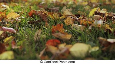 Autumn leaves falling and sun shining through fall leaves. Beautiful landscape background.