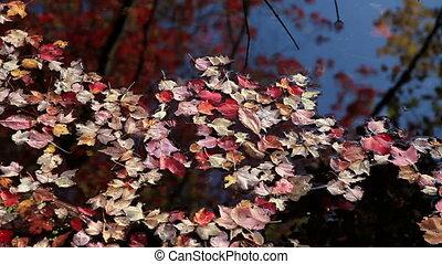 Autumn Leaves Floating on Lake