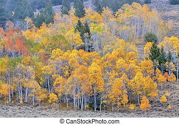 Autumn leaves in a forest of Aspens