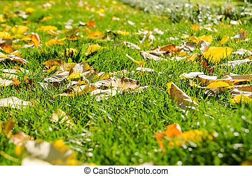 Autumn Leaves In Fresh Green Grass