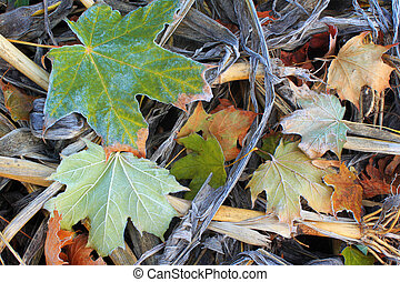 Autumn leaves in frost