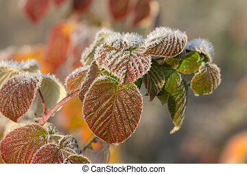 autumn leaves in hoarfrost closeup