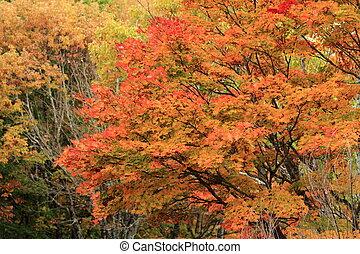 Autumn leaves in Kiyosato highland, Yamanashi, Japan