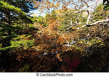 Autumn leaves in Nikko