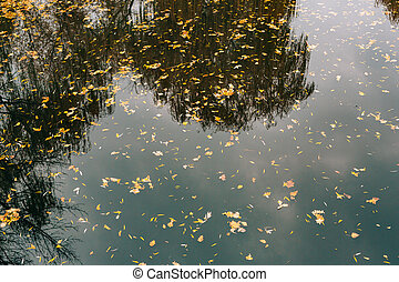 Autumn leaves in the water. Autumn lake in the park. Fallen...