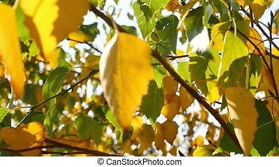 autumn leaves in tree sun light