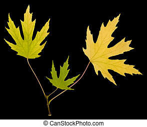 Autumn leaves isolated on black background