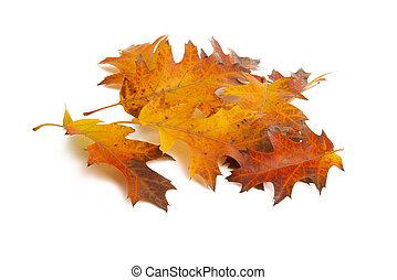 autumn leaves isolated