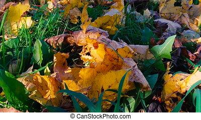 Autumn leaves lay on a green grass closeup.