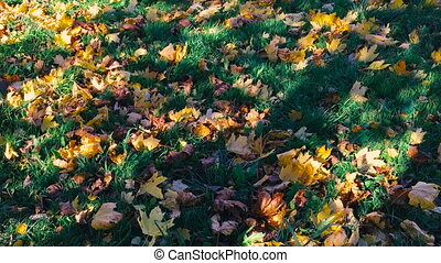 Autumn leaves lay on a green grass.