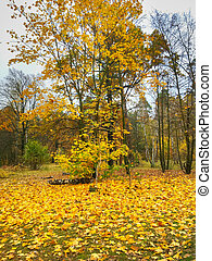 autumn leaves maple tree forest