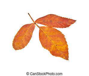 autumn leaves of a mountain ash