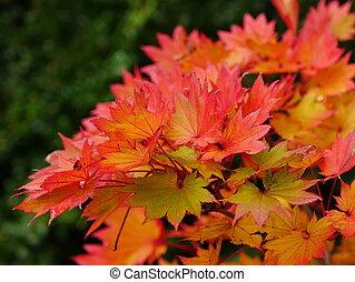 Autumn Leaves of Acer Shirasawanum Aureum