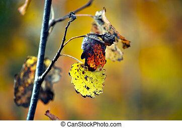 autumn leaves of aspen tree