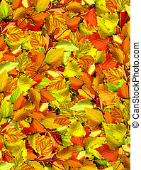 autumn leaves of birch