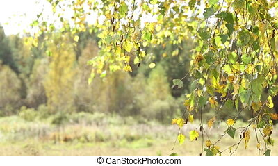 Autumn leaves of birch wiggle on the wind.