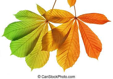 Autumn leaves of chestnut tree
