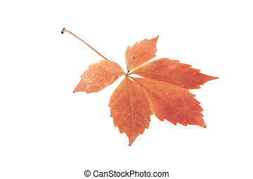 autumn leaves of grapes isolated on white background