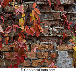 Autumn leaves of grapes on old brick wall.
