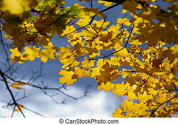 Autumn leaves of maple against the sky.