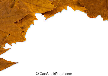 Autumn leaves of maple isolated on white background