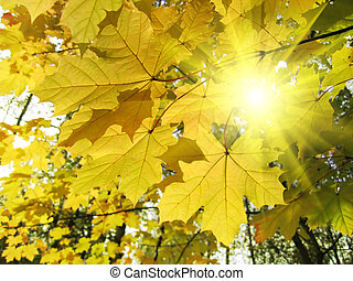 autumn leaves of maple tree and sunlight