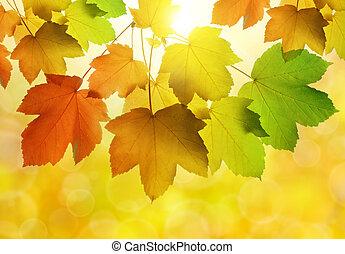 Autumn leaves of maple tree
