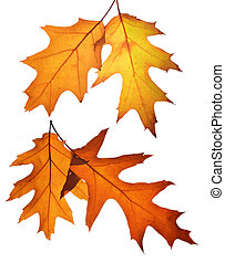 Autumn leaves of oak tree.