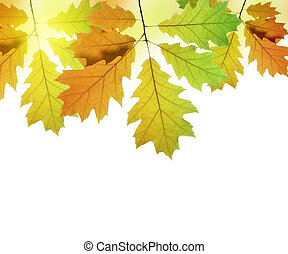 Autumn leaves of oak tree