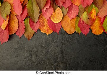 Autumn leaves of red leaves of wild grapes on a black background with copy space.