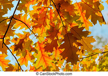 Autumn leaves of red oak against the sky in backlight