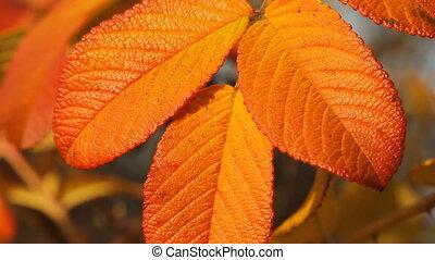 autumn leaves of wild rose