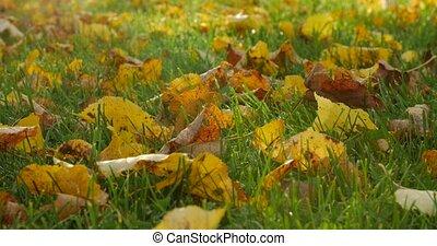 Autumn leaves on autumn grass. - Autumn leaves on autumn...