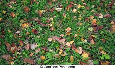 autumn leaves on grass - autumn leaves on green grass in...