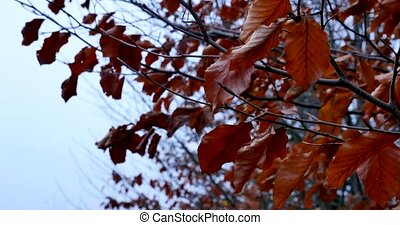 autumn leaves , rainy, picture ,rain, falling, leaves ,beautiful ,autumn ,cute, yellow ,dry ,brown, tree ,long ,amazing,nature, forest , park , rain over trees ,drops,