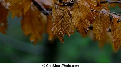 autumn leaves , rainy, picture ,rain, falling, leaves ,beautiful ,autumn ,cute, yellow ,dry ,brown, tree ,long ,amazing nature, forest , park , rain over trees ,drops,
