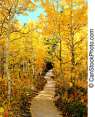 Autumn leaves - Trail through a forest of aspen trees during...
