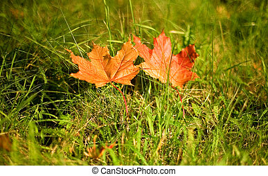 Autumn leaves. Two red maple leaves in the green grass