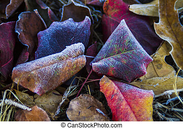 Autumn leaves with frost