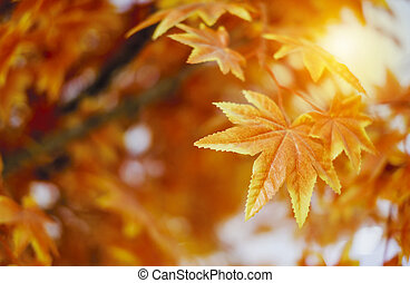 Autumn leaves with sunlight background maple leaf in the garden