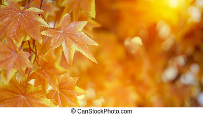 Autumn leaves with sunlight background maple leaf